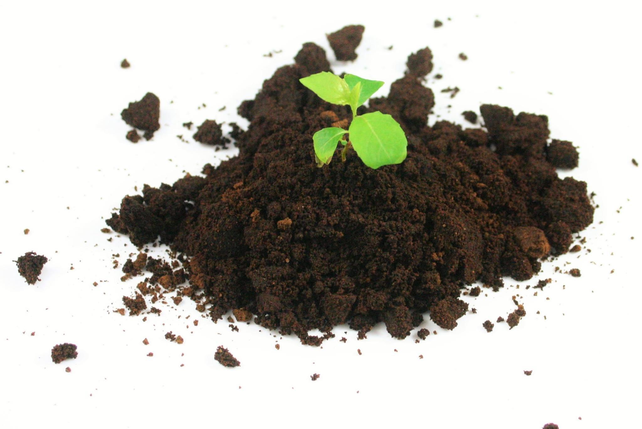 Kaffeesatz als Dünger mit Jungpflanze